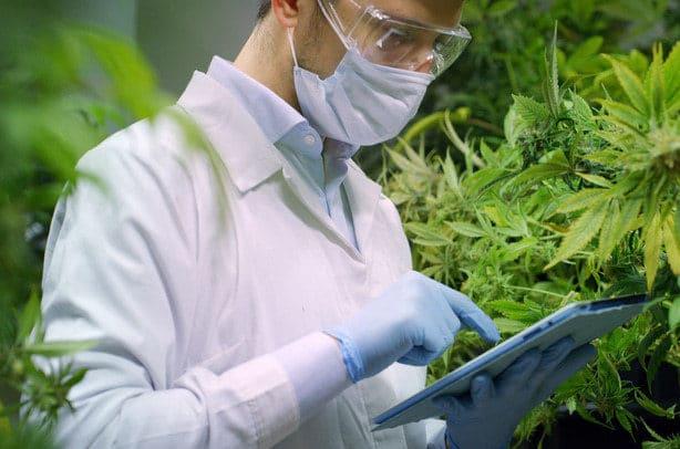 Forscher-vor-cannabis-pflanzen