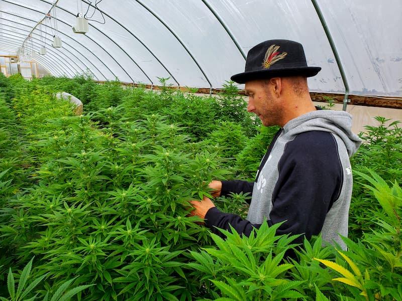 Ein Hanfbauer steht in einer Hanfplantage